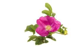 Różowy dziki wzrastał z liśćmi Zdjęcie Royalty Free