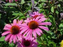Różowy Echinacea purpurea zdjęcia stock
