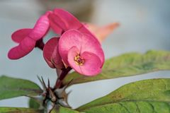 Różowy euforbii milii Kwitnie koronę ciernie zdjęcia stock