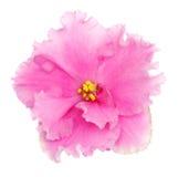 różowy fiołek Zdjęcia Royalty Free