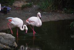 Różowy flamingów stać Fotografia Stock