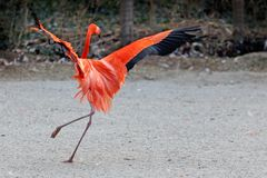 Różowy flamingów tanczyć obrazy royalty free