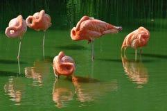 różowy flaming obrazy royalty free