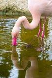 Różowy flaminga portret, odbicie w wodzie i Obraz Royalty Free