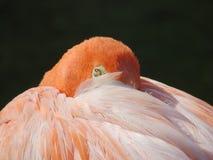 Różowy flaminga zbliżenie zdjęcie royalty free