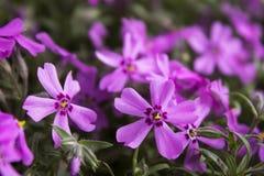 Różowy floks, kwitnie wiosna kwiaty phlox pnący Zdjęcia Stock