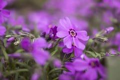 Różowy floks, kwitnie wiosna kwiaty phlox pnący Obraz Stock