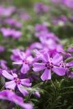 Różowy floks, kwitnie wiosna kwiaty phlox pnący Obrazy Stock