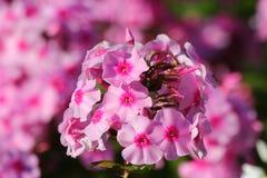 Różowy floksa kwiatu zakończenie up Fotografia Stock