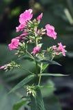 Różowy floksa kwiatu zakończenie up na ciemnym tle Zdjęcia Royalty Free