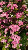Różowy Głogowy okwitnięcie obraz royalty free