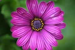 różowy gerbera Fotografia Stock