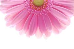 różowy gerbera zdjęcia stock