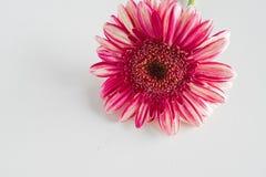 Różowy gerbera kwiatu zakończenie up na bielu Fotografia Royalty Free