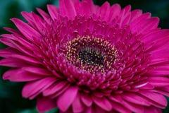 Różowy Gerbera kwiatu zbliżenie Makro- zdjęcia royalty free