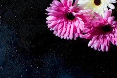 R??owy gerbera na czarnym tle z wodnymi kroplami ilustracji