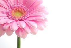 różowy gerbera pojedynczych zdjęcia stock