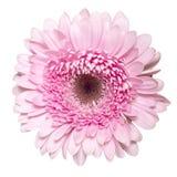 Różowy Gerbera tła głęboka ostrość odizolowywająca nad malinowym biel Obraz Royalty Free