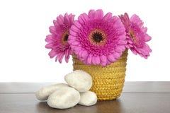Różowy Gerbera w żółtych kosza i bielu skałach Zdjęcia Royalty Free