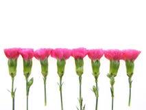 różowy goździk Fotografia Stock