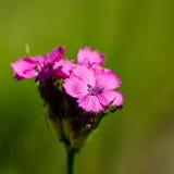 Różowy goździk dekoracyjny Zdjęcie Stock