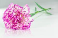 Różowy goździk i odbicie Zdjęcie Stock