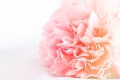 Różowy goździk Kwitnie bukiet Fotografia Royalty Free
