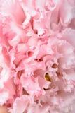 Różowy goździka kwiat Fotografia Royalty Free