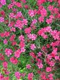 Różowy goździkowy kwiat Zdjęcie Stock