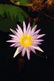 różowy grążel Zdjęcie Stock
