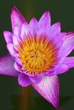 różowy grążel Obrazy Stock