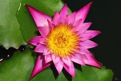 różowy grążel Fotografia Stock