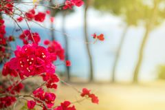 Różowy Grecja bougainvillea kwitnie na plaży przeciw morzu Zdjęcia Royalty Free