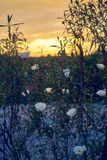 Różowy gumowy kwiat - cistus ladanifer w polach dehesa Extremeña, Hiszpania Jara kwiat fotografia royalty free