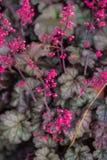 różowy Heuchera fotografia stock