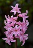 różowy hiacynt Obrazy Royalty Free
