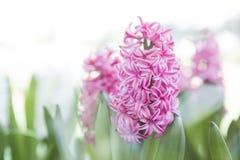 Różowy Hiacyntowy kwiatu ogródu tło Zdjęcia Stock