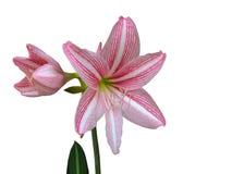 Różowy hippeastrum lub amarylka kwiat odizolowywający na białym tle zdjęcie royalty free