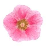 Różowy hollyhock kwiatu zbliżenie Obraz Royalty Free
