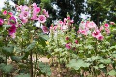 różowy hollyhock w ogródzie kwitnący malva kwiat w parku Alcea r Obraz Royalty Free