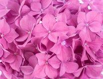 Różowy hortensi tło Zdjęcia Stock