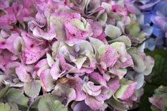 Różowy hortensi zakończenie jako ogrodowa dekoracja bukiet dla panny młodej Obrazy Stock
