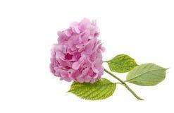 Różowy hortensi zakończenie w górę hortensi (odosobniona hortensja) Obraz Royalty Free