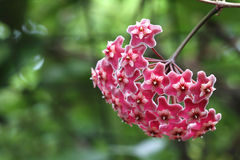 Różowy Hoya kwiat zdjęcie stock