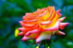 Różowy hybryd róży zakończenie up zdjęcia stock