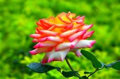 Różowy hybryd róży zakończenie up obraz stock