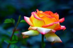 Różowy hybryd róży zakończenie up fotografia royalty free
