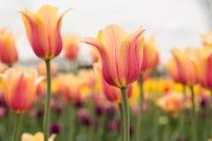 Różowy i Żółty Pastelowy tulipanu pole Holandia Michigan Obrazy Stock