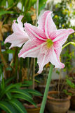 Różowy i biały amarylka kwiat. obrazy royalty free