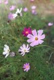 Różowy i biały cosme kwitnie w ogródzie zdjęcia royalty free